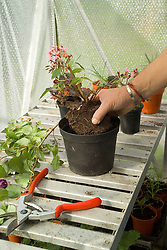 Potting up a pelargonium to overwinter in a greenhouse