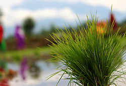 June 5, 2017 - Anantnag, Jammu and Kashmir, India - Rice paddy lying in a paddy field on the outskirts of Anantnag district some 60 kilometers from summer capital of Indian controlled Kashmir (Credit Image: © Aasif Shafi/Pacific Press via ZUMA Wire)