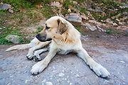 A dog from Kasol looking away from the camera. The friendly dogs who are well fed by the tourists will often give company to the tourists on the mountain trails.