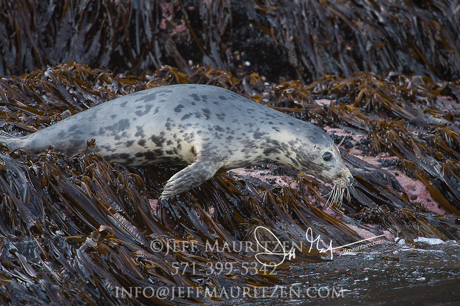 A Grey seal enters the ocean from a rocky outcrop covered in Kelp on Little Skellig island, County Kerry, Ireland.