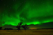 Northern lights or aurora borealis  and trees on prairie<br /> Birds Hill Provincial Park<br /> Manitoba<br /> Canada