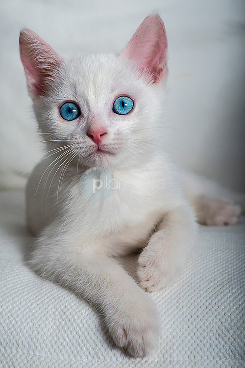 Gato blanco © / PILAR REVILLA