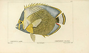 Chaetodon from Histoire naturelle des poissons (Natural History of Fish) is a 22-volume treatment of ichthyology published in 1828-1849 by the French savant Georges Cuvier (1769-1832) and his student and successor Achille Valenciennes (1794-1865).