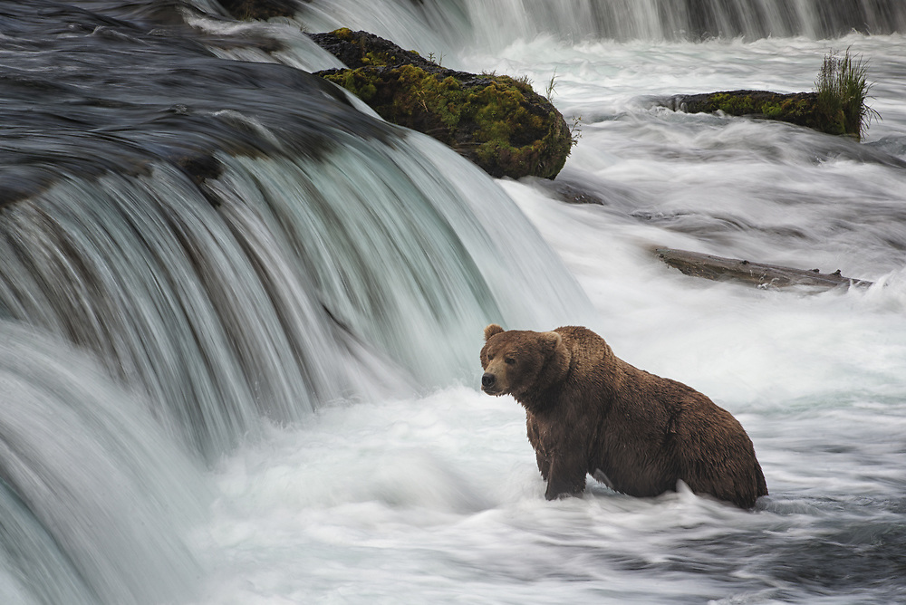 """The brown bear at Brooks Falls commonly known as """"Popeye."""" Katmai National Park, Alaska."""