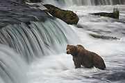 "The brown bear at Brooks Falls commonly known as ""Popeye."" Katmai National Park, Alaska."