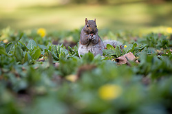 © Licensed to London News Pictures. 20/02/2017. Greenwich Park, London, UK. A Squirrel among the first spring flowers during the mild weather in Greenwich Park on Monday morning. Photo credit : David Tett/LNP