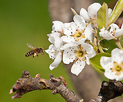 Honey Bees polinate pear blossoms at Watanabe Orchards near Odell, between Mt. Hood & Hood River, Oregon