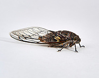Cicada  or Chicharra - also known in the region as the rainbird against a white background -  San Juan Cosala, Jalisco, Mexico