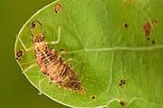 Larve einer Rotköpfigen Florfliege (Nothochrysa fulviceps) auf einem Eichenblatt. Typischer für die Larve ist es sie sich mit Nahrungsüberresten und Stöckchen auf dem Körper zu maskiert / tarnen. Das Tier lebt in den oberen Teil der Baumkronen.