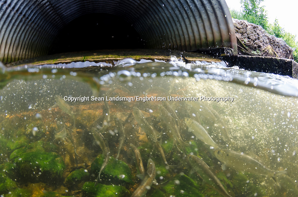 Alewife beneath culvert(with Blueback Herring)<br />