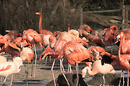 Flamingo's in the winter sun in Europe