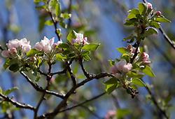 THEMENBILD - Blüten eines Apfelbaum, aufgenommen am 22. April 2018, Kaprun, Österreich //Blossoms of an apple tree on 2018/04/22, kaprun, Austria. EXPA Pictures © 2018, PhotoCredit: EXPA/ Stefanie Oberhauser