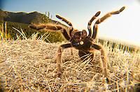 Chilean Rose Tarantula (Grammostola rosea), Santiago, Chile<br /> Chilean flame tarantula, Chilean fire tarantula, Chilean red-haired tarantula, Chilean rose hair tarantula Image by Andres Morya