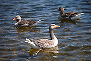 Greylag geese, Anser anser, on Tarn Hows lake in the Lake District National Park, Cumbria, UK