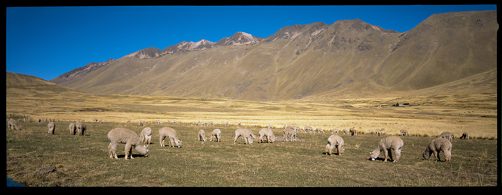Alpacas in the mountains, Peru, 2003