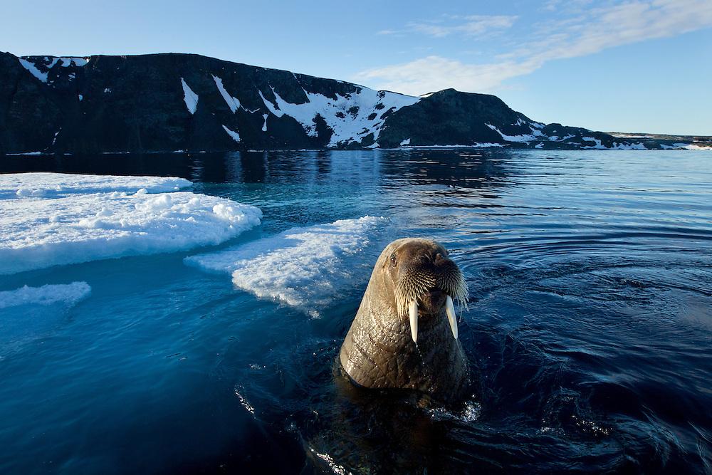Norway, Svalbard, Walrus (Odobenus rosmarus) emerges beside ice floe in Zeipelbukta (Zeipel Bay) lit by midnight sun