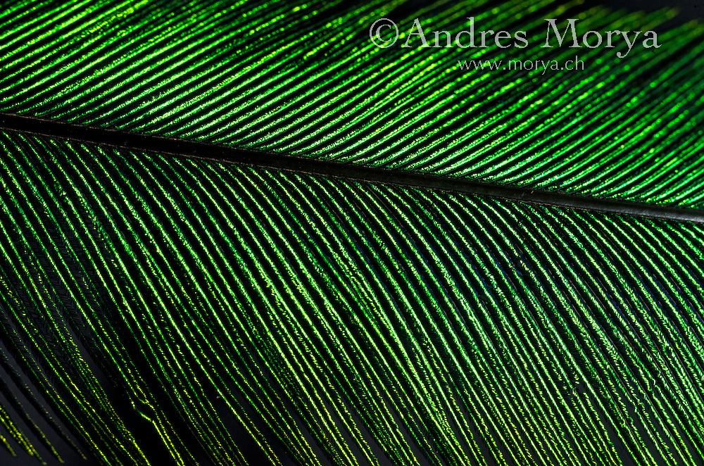 Resplendent Quetzal feather detail (Pharomachrus mocinno), Costa Rica. Image by Andres Morya