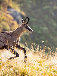Profile view of wild Chamois, Hohneck, France