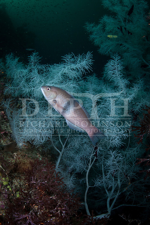 Notolabrus cinctus (Gridled wrasse) amongst Antipathella fiordensis (Fiordland Black Coral). Saturday 05 April 2014<br /> Photograph Richard Robinson &copy; 2014<br /> Dive Number: 515<br /> Site: Porpoise Point, Bowen Channel, Dusky Sound, Fiordland.<br /> Boat: Tutoko<br /> Dive Ian Skipworth<br /> Time: 10:06<br /> Temperature:  14.8<br /> Rebreather: Inspiration Vision. Total Time On Unit: 317:53 hh:mm<br /> Maximum Depth: 30.6 meters<br /> Bottom Time: 125 minutes<br /> Mix: 21<br /> CNS: 50%<br /> OTU: 48%<br /> Bottom Time to Date: 34,804 minutes<br /> Cumulative Time: 34,929 minutes