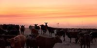 VACAS Y MOLINO EN UN FEED LOT AL ATARDECER, CARMEN DE ARECO, PROVINCIA DE BUENOS AIRES, ARGENTINA