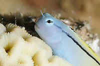 Actually armed with poisinous fangs, the tiny mimic blenny imitates other fish in order to score a meal.