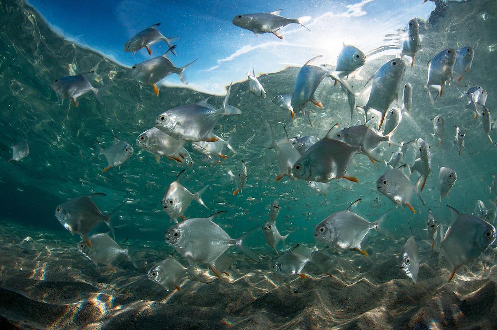 School of dart fish in shallow water.