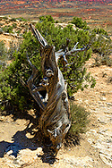 Twisted Juniper, Arches National Park, Utah, USA.