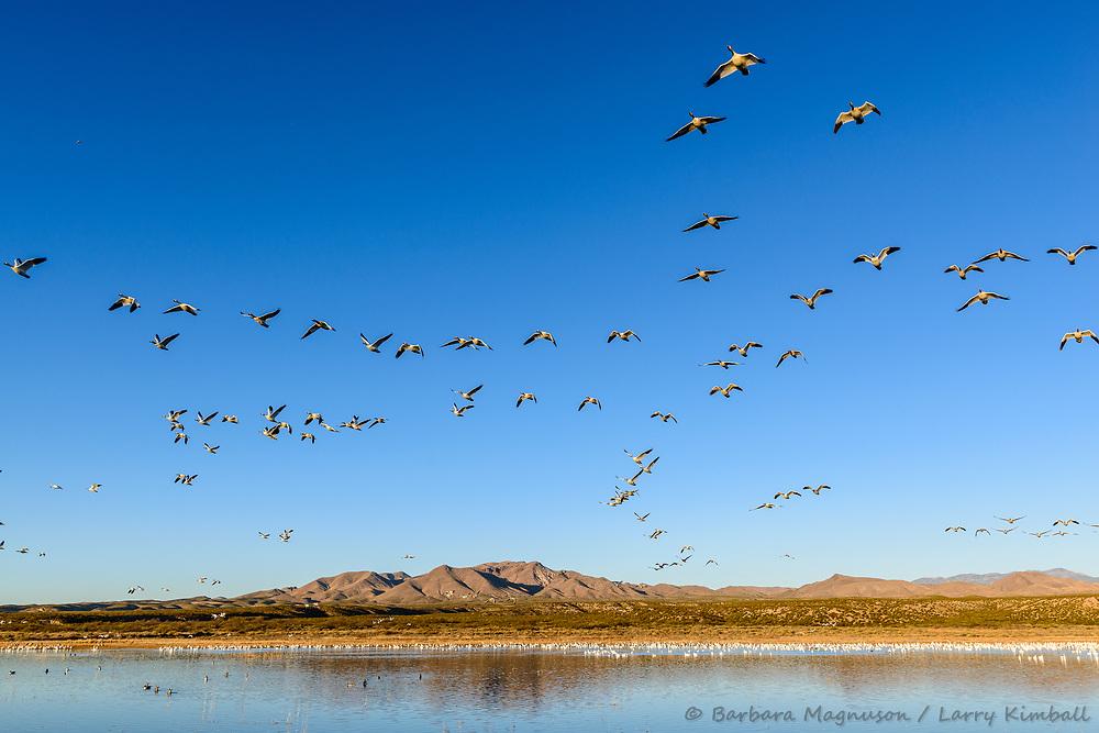 Snow Geese [Chen caerulescens] wide angle flight; Bosque del Apache, New Mexico