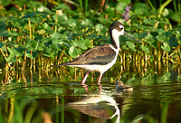 Black-necked Stilt (Himantopus mexicanus)  with chick,  Wakodahatchee Wetlands, Delray Beach Florida USA   Photo: Peter Llewellyn