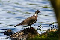 Norway, Stavanger. Common wood pigeon.