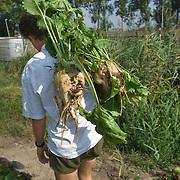 Nederland Rhoon 20 augustus 2009 20090820 Foto: David Rozing      ..Serie over levensmiddelensector                                                                                      .Een boer draagt grote bieten op akker, zojuist met de hand geoogst..Foto: David Rozing