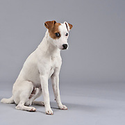 Jack Russell Terrier looking down and off camera with space for copy.