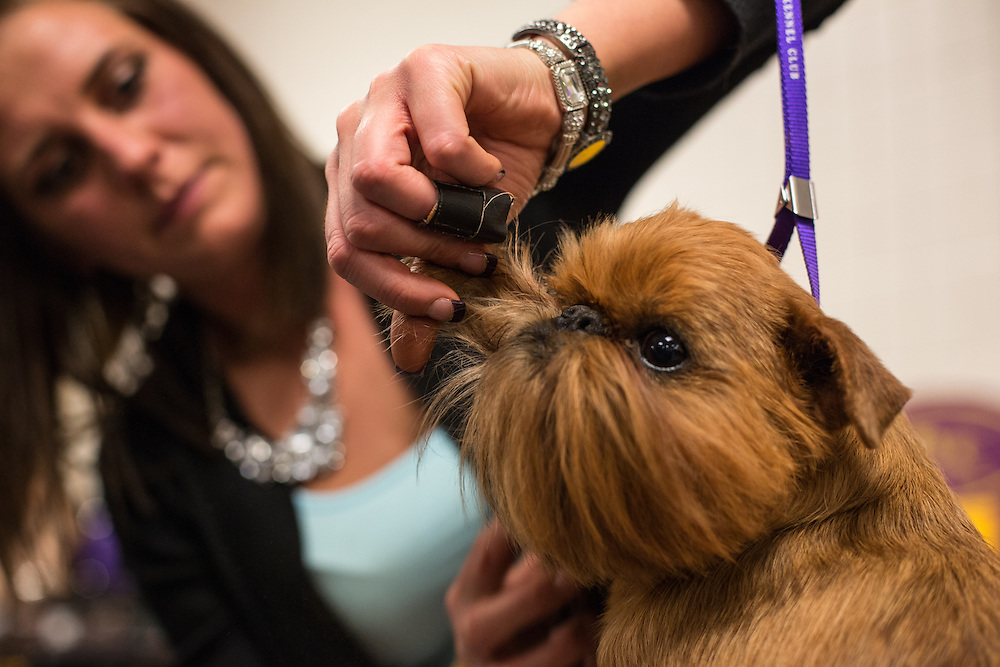 New York, NY - 16 February 2015. Brussels Griffon Cayman in the benching area of Madison Square Garden, being groomed for his appearance in the Toy group of the 139th Westminster Kennel Club Dog Show.