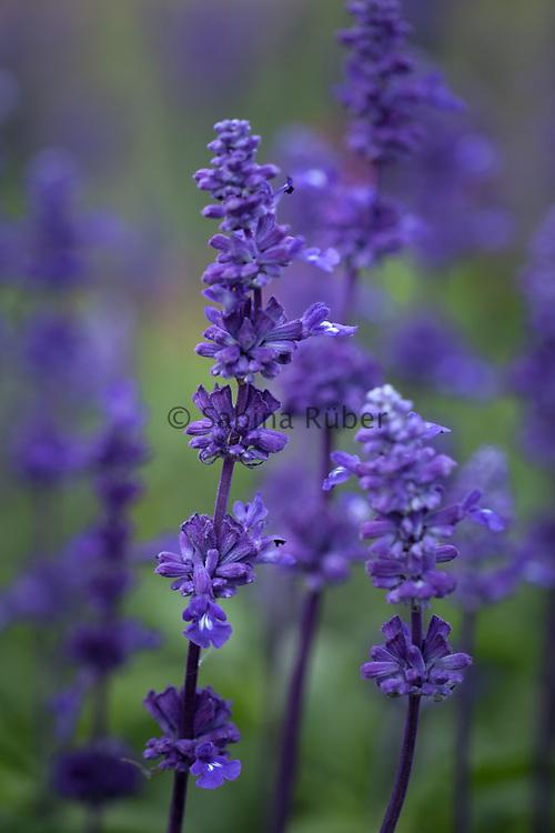 Salvia farinacea 'Blue Victory' - sage