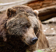 The grizzly bear - Ursus arctos, is any North American subspecies of brown bear, including the mainland grizzly, Kodiak bear, Peninsular grizzly and the recently extinct California grizzly and Mexican grizzly bear