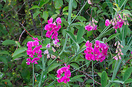 Marsh Peavine (Lathyrus palustris) flowers at Blackie Spit in Crescent Beach, British Columbia, Canada