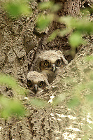 After nesting high in a tree the crows continued to pester the Great Horned Owls and the adults decided to move the owlets to a lower cavity in a nearby tree.