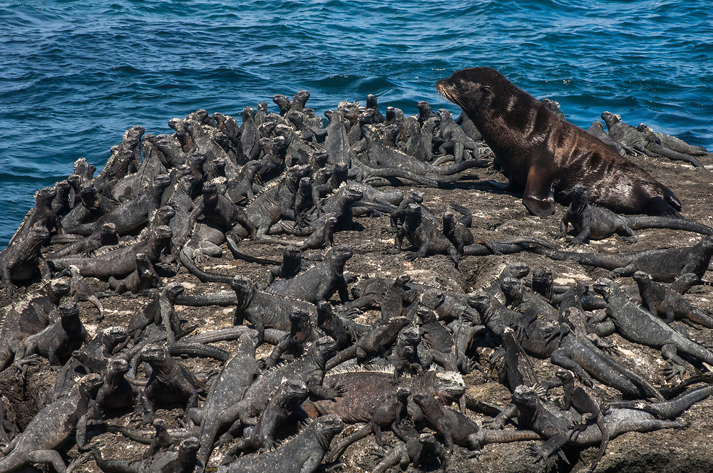 Galapagos Fur Seal (Arctocephalus galapagoensis) & Marine Iguanas (Amblyrhynchus cristatus) Cabo Douglas, Fernandina Island.<br /> GALAPAGOS ISLANDS<br /> ECUADOR.  South America<br /> These are the smallest of the world's 7 species of fur seals with males only reaching 65-80kg's. They are found mostly in the upwelling zones  in the west of the archipelago. They are usually quite solitary and avoid body contact with other fur seals, preferring to be in the shady lava crevices. They are nocturnal feeders and thus have very large eyes and good nocturnal vision. <br /> ENDEMIC TO GALAPAGOS.