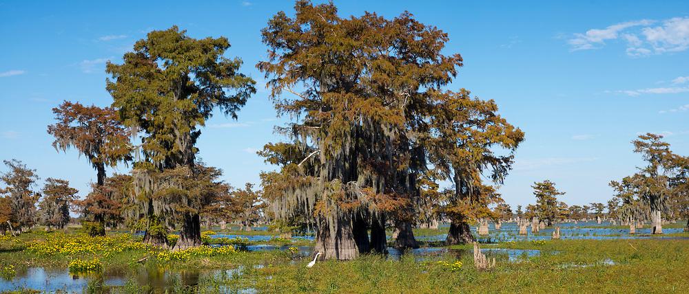Large Egret wading by Bald cypress trees Taxodium distichum, covered with Spanish Moss, Atchafalaya Swamp, Louisiana USA