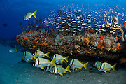 Coral Reef in Palm Beach, FL showing heathly corals and sponges and a school of Porkfish (Anisotremus virginicus)