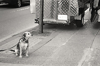 Dog Waiting for Her Owner outside a shoe store in center city Philadelphia.