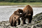 A brown bear sow known as Bearded Lady plays with her spring cubs at the McNeil River State Game Sanctuary on the Kenai Peninsula, Alaska. The remote site is accessed only with a special permit and is the world's largest seasonal population of brown bears.