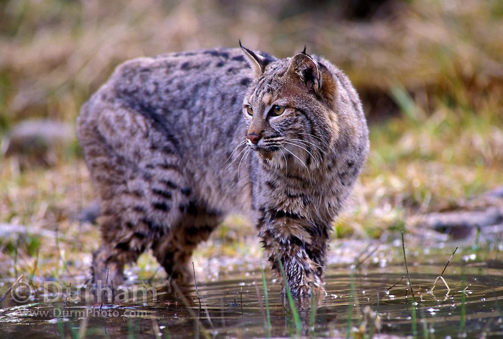 A male bobcat (Felis rufus) in water.