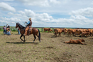 Rancher, cartoonist, Wally Badgett, horse Egor, ropes and drags calves to fire, wrestlers, cattle branding, Lazy TL Ranch, north of Miles City, Montana