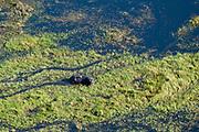 Aerial view of Okavango Delta, Hippopotamus (Hippopotamus amphibius), Botswana.