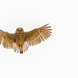 Borrowing owl in flight, Pantanal, Brazil.