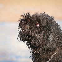 Hungarian Puli Dogs