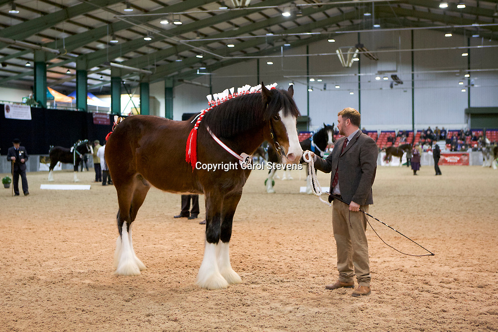Shire Horse Society Spring Show 2017  Two Year Old Geldings