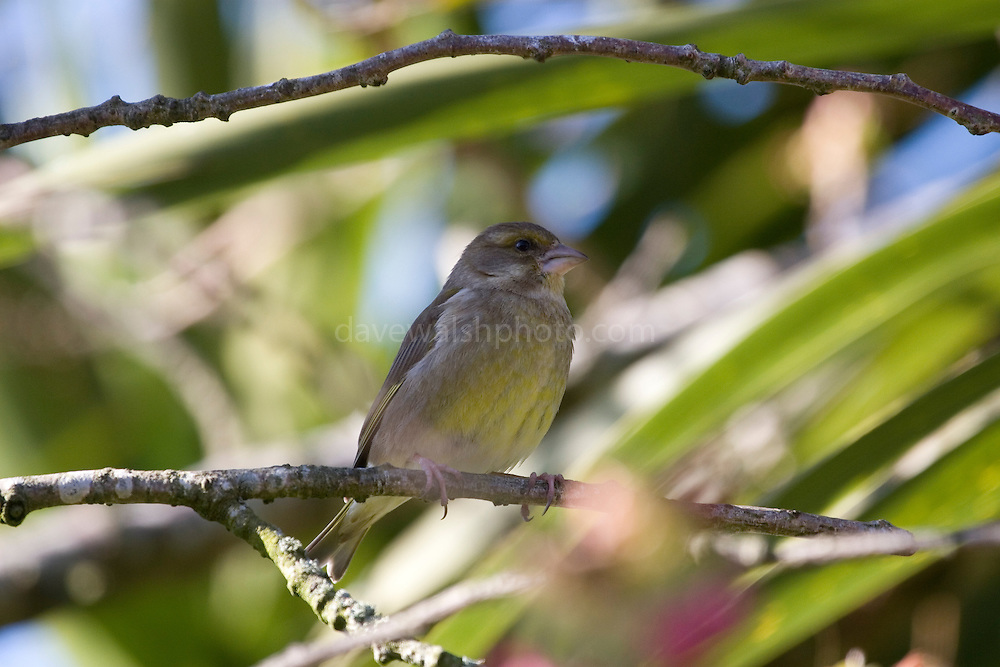 Carduelis chloris - Fenmale Greenfinch, sitting in a cherry treet
