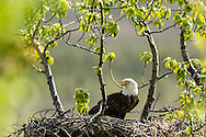 Bald Eagle (Haliaeetus leucocephalus) in nest at Potter Marsh in the Anchorage Coastal Wildlife Refuge in Southcentral Alaska. Spring. Afternoon.